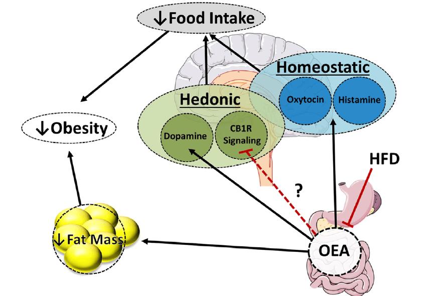 anti-obesity actions of oleoylethanolamide(OEA)