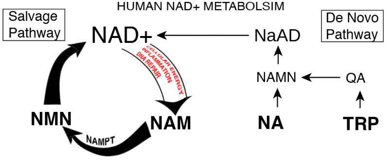 Mechanism of action of nicotinamide mononucleotide