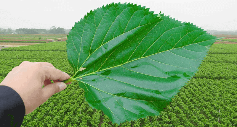 Mulberry leaves planting