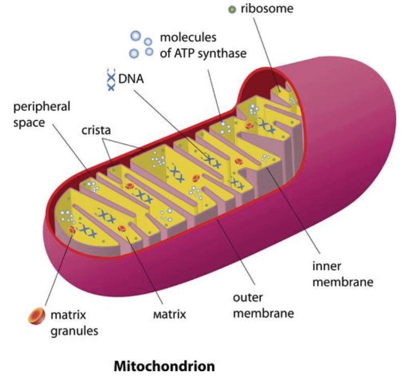 Pyrroloquinoline Quinone mechanism of actino with mitochondria