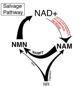 cycle diagram of NR to NMN