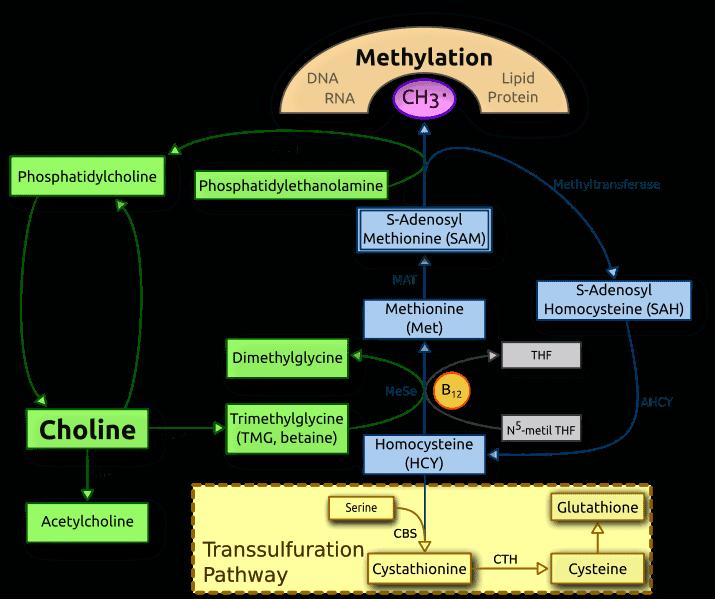 metabolism of Phosphatidylcholine and Choline