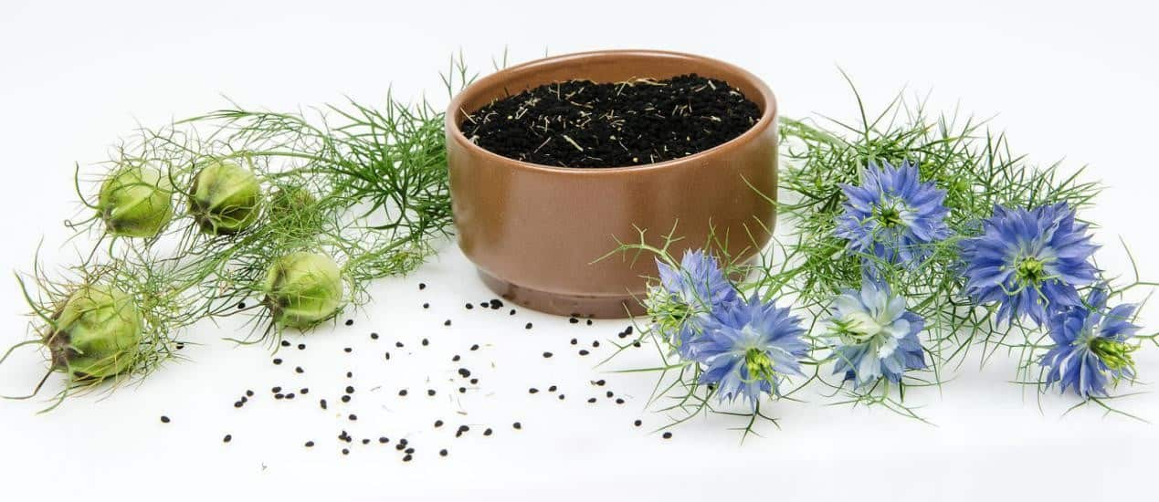 nigella sativa seeds plant