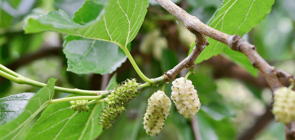 white mulberry tree with fruits