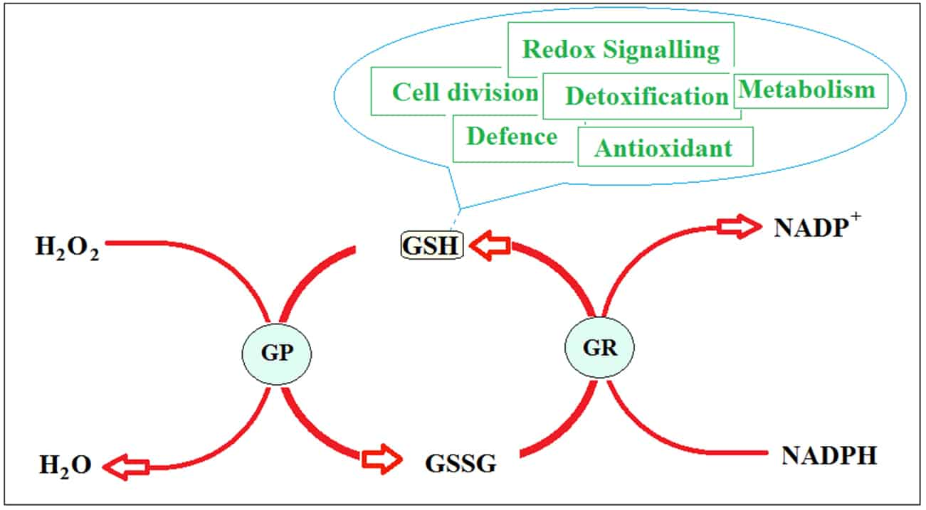 Glutathione redox cycle