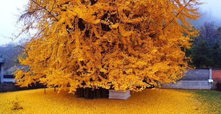 ginkgo biloba leaf in yellow