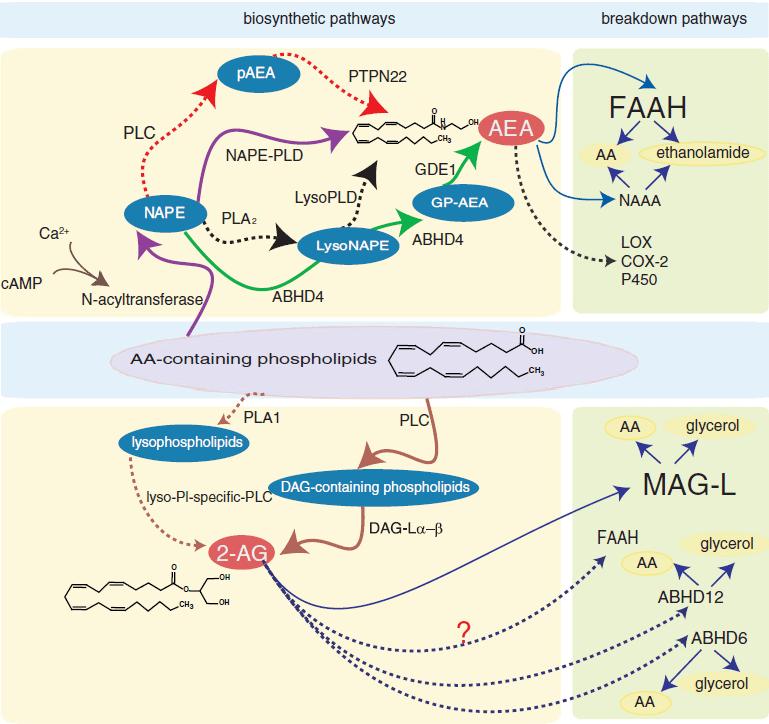 Biosynthetic pathways breakdown pathways of Anandamide and 2-AG