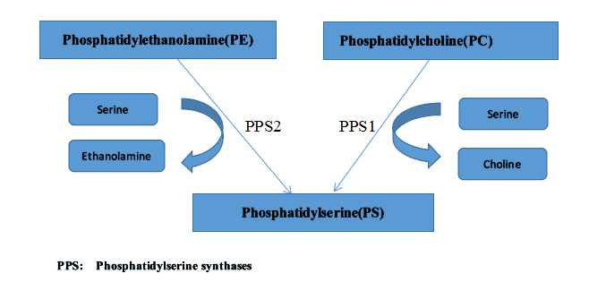 Phosphatidylserine synthases