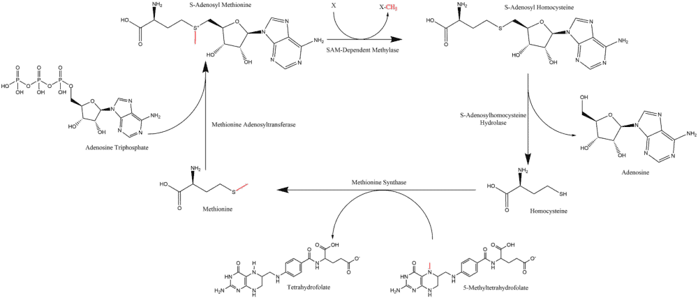 Summary of the S-adenosyl methionine cycle with donated methyl group highlighted in red throughout