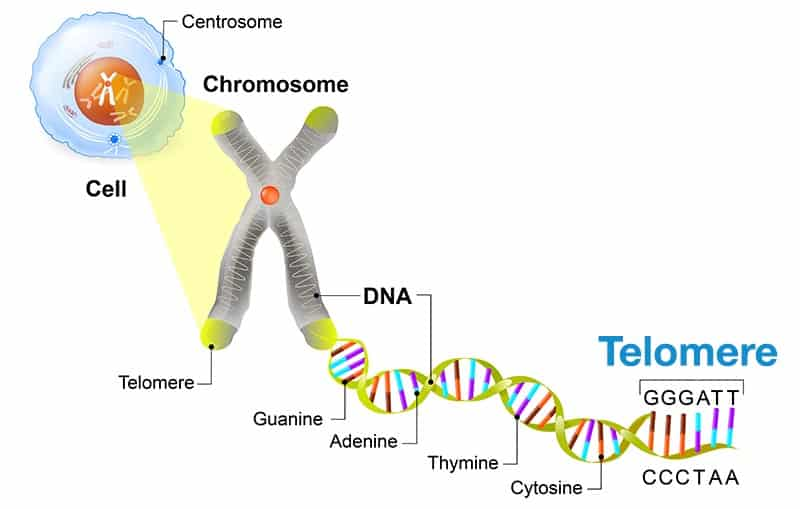 Telomere and aging