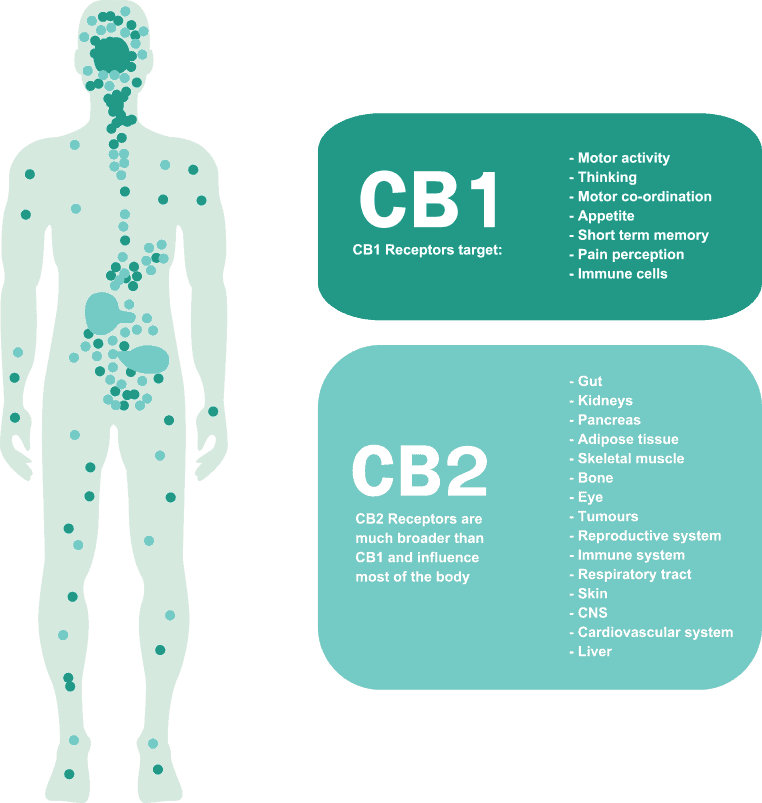 targets of CB1 receptors and CB2 receptors