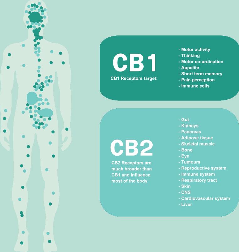 targets of CB1 receptors and CB2 receptors