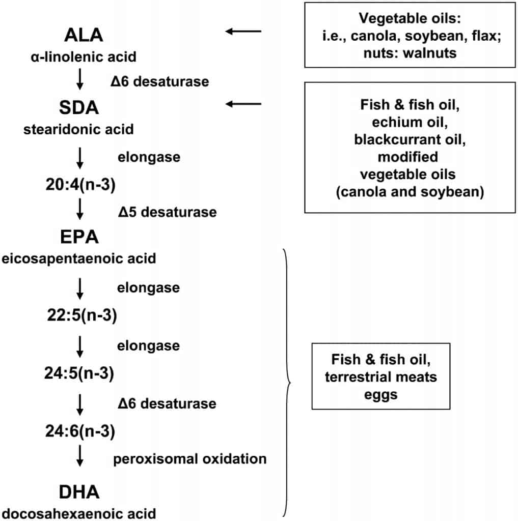 ALA DHA conversion pathway