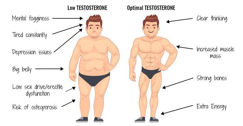 Testosterone functions for muscles