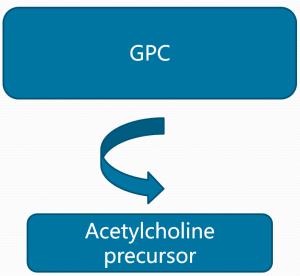 alpha GPC conversion to Acetylcholine precursor
