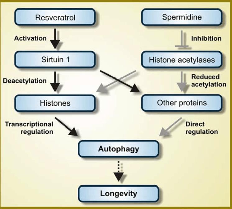 Spermidine and longevity